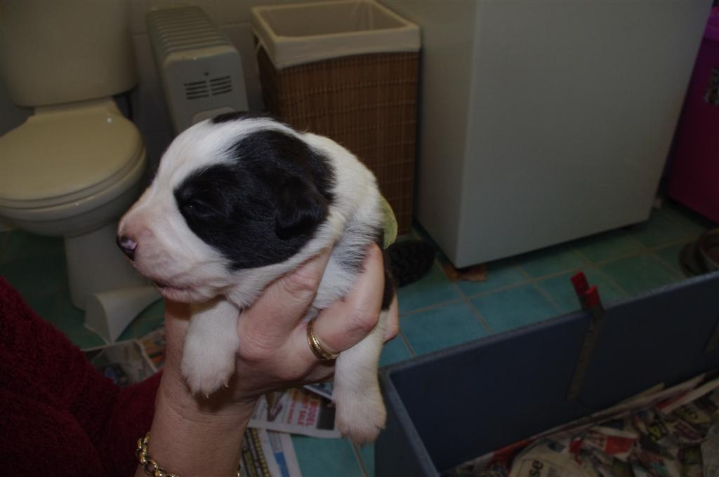 Jazzys babies-13 days old -Black and white female -13 days old!